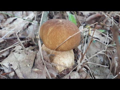 Белый гриб в июле растёт в тенистом лесу