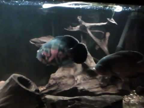 Oscar Fish Aquarium