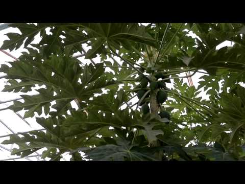 إنتاج وتقليم أشجار البابايا - Gulf Plants