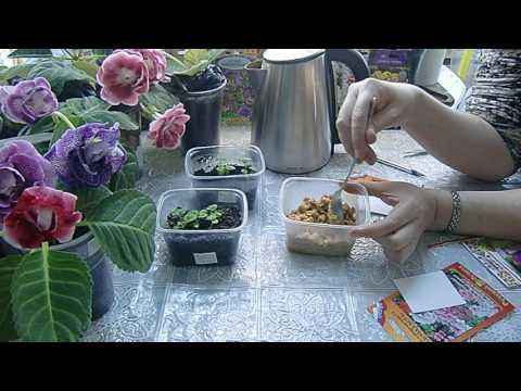 Плющелистная пеларгония фото уход Сайт о саде, даче