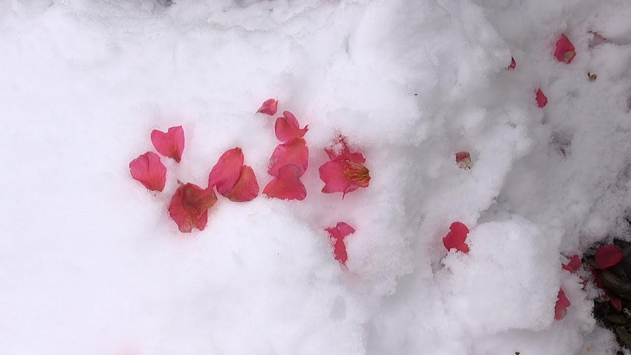flowers and snow beautiful winter flower in japan flowers and snow beautiful winter flower in japan izmirmasajfo