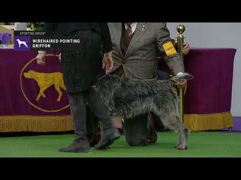 Wirehaired Pointing Griffons | Breed Judging 2019