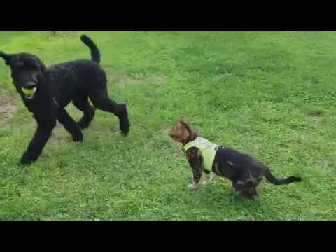 Savage Bengal Cat vs Funny Poodle - Cat vs Dog