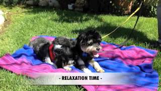 Dolce & Gabbana - Adorable Pair - Havanese / Shih Tzu Need Home