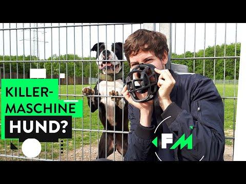 Leben Mit Kampfhund – Monster Auf Vier Pfoten?