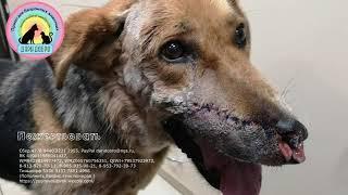 Спасение бездомного пса Грома Наказать живодера Выстрел в упор искалечил собаке морду Новосибирск