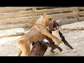 DOG BREED Most Popular Fighting Dogs [Mr Fahey]