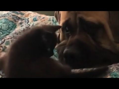 200-pound English Mastiff is adorably patient with 2-pound kitten