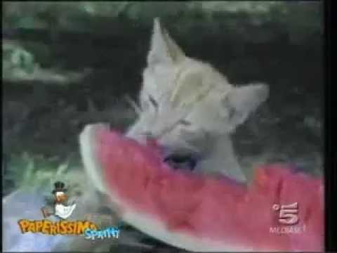 Боевые коты! Нападение кошек на собак, нападение на людей