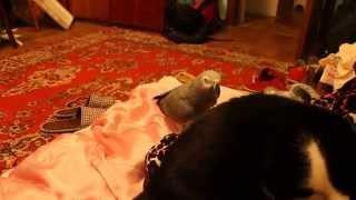 Попугай жако пристаёт / обращается к кошке по имени