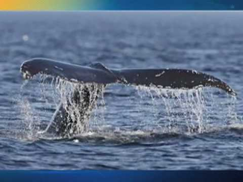 Whale poo to fight CO2?