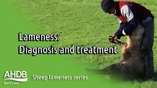 Diagnosing the cure - Sheep Lameness series
