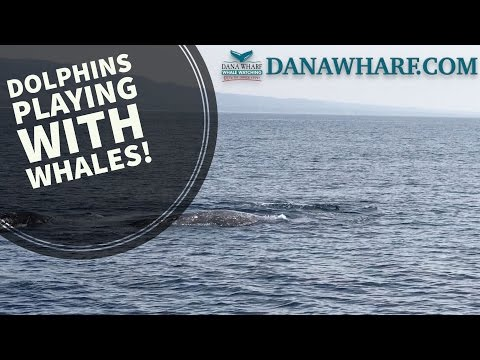 Grey Whales and Pacific White Sided Dolphins