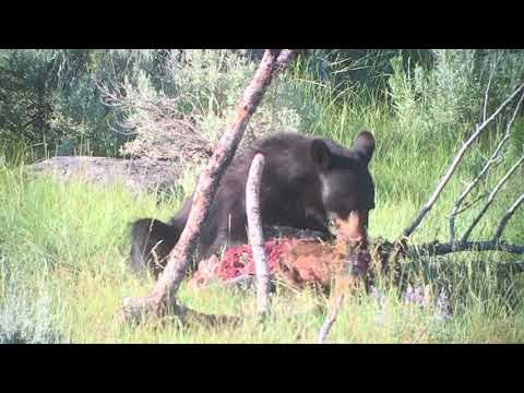 At Yellowstone, A Black Bear Eats A Young Elk Raw! Amazing Wildlife Footage.