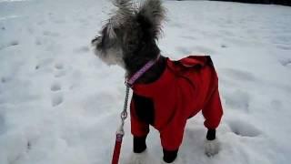 こむぎ生後6ヵ月半で初めて雪の中をお散歩です。近くの公園で大喜びで駆...