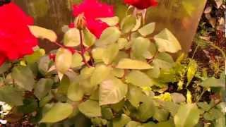 Вторая волна цветения роз - уход за цветами в саду (ч.4)(Уход за садовыми цветами во время второй волны цветения (закладка бутонов). Источник http://gardenworks.ru/caring-for-garden-ro..., 2012-09-07T03:40:42.000Z)