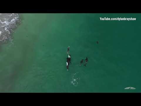 Una familia de orcas juegan con una bañista en Hahei Beach, Nuev Zelanda