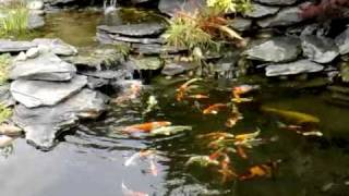 Step By Step Pond Building - Koi Pond In Garden With A Waterfall London 2010