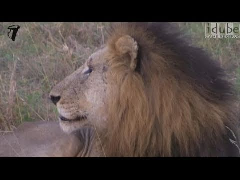 Male Lion Roaring (The Sound of Africa)