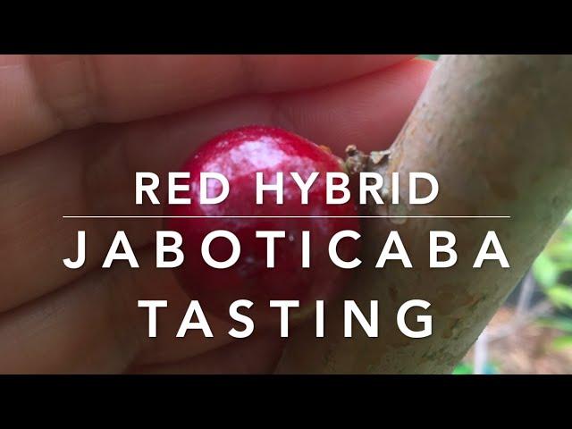 Red Hybrid Jaboticaba Tasting - 2021 Season