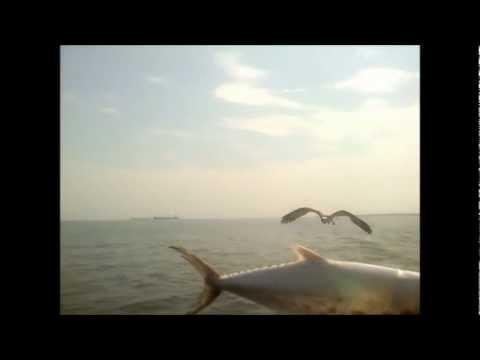 Osprey - Fast food for birds of prey (original)