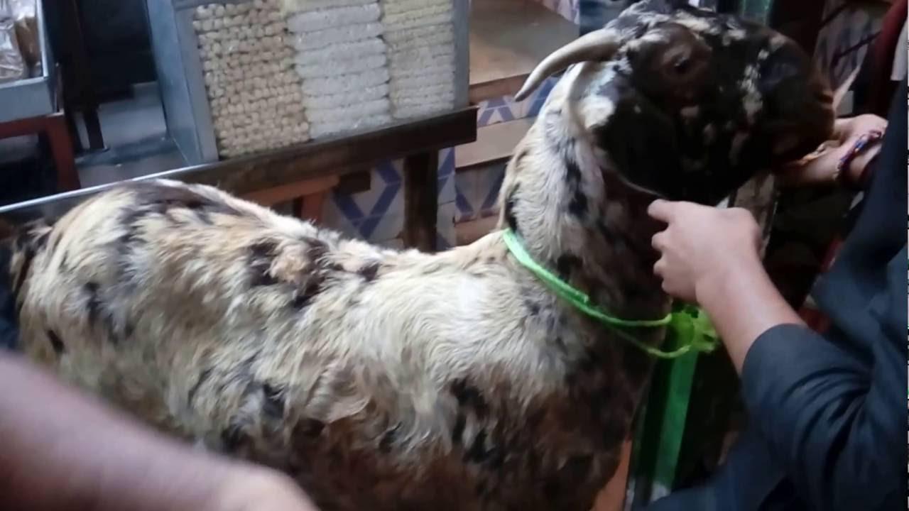 Ajmeri Khassi Bakra Jodi in ajmer near dargah Free Download Video