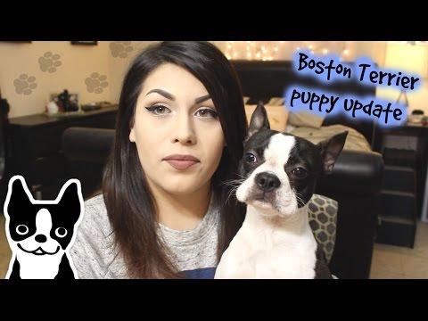 Puppy 9 Month Update   Boston Terrier.