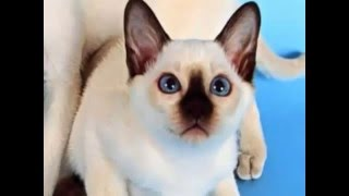 Тайские кошки,   описание породы, характер  тайской породы кошек