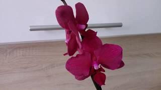 Очередная радость, моя новая орхидея ОБЗОР Посадка в керамзит