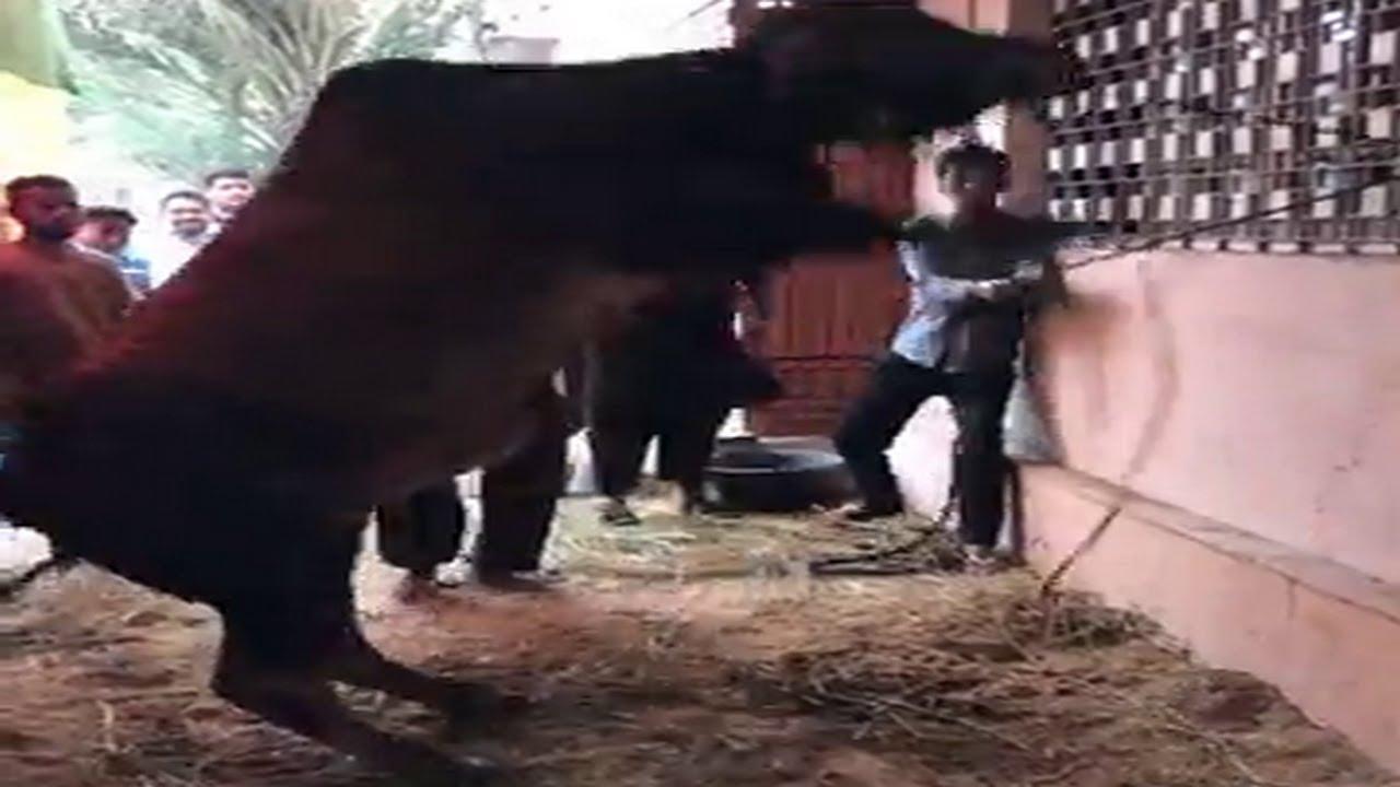 Bull Qurbani Video Eid 2nd day Eid ul adha 2021 BULL VIDEO  EID UL AZHA 2021 Bakra eid 2021