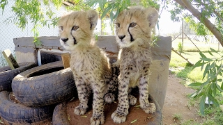 Cheetah Cub VS Raccoon Cute Big Cat Cubs Play With Stuffed Toy Breeding Center In South Africa