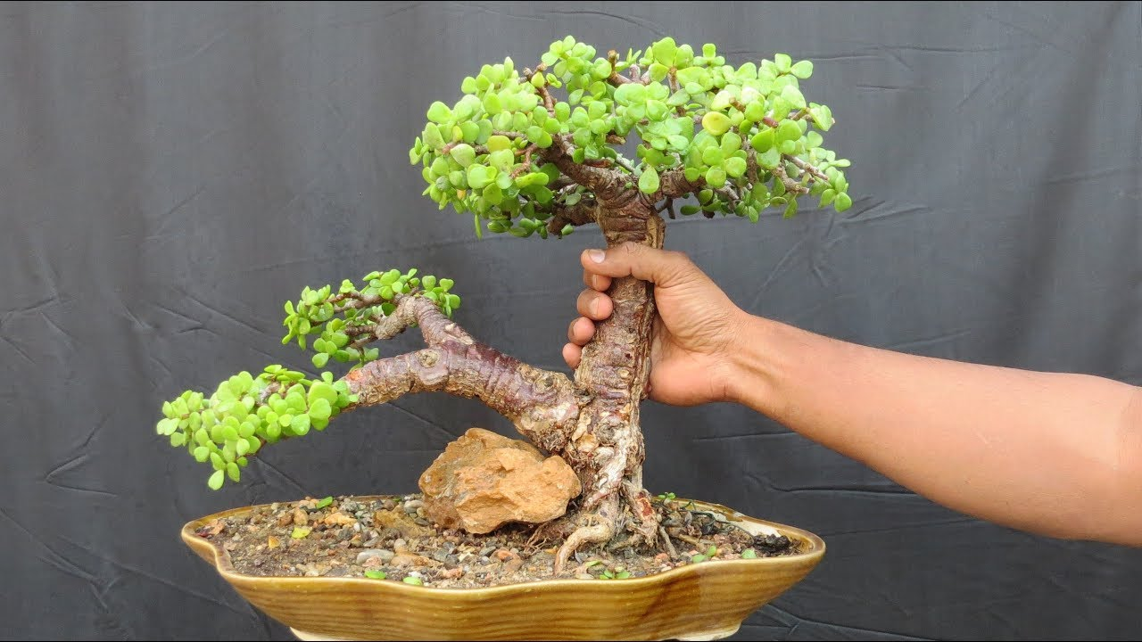 Jade Bonsai How To Create Thick Trunk Ovd Youtube