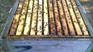 Пчелы в августе #Пчеловодство#Зимовка