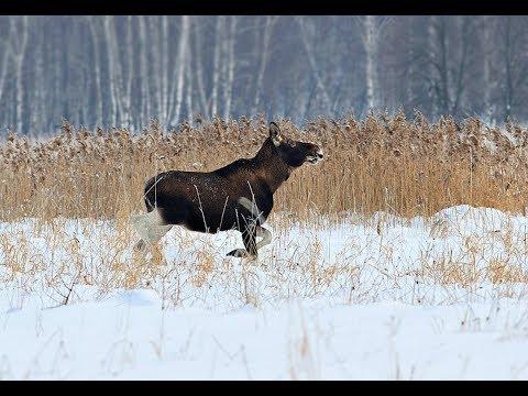 Секреты охоты на лося с подхода зимой!