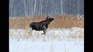 Секреты охоты на лося с подхода зимой