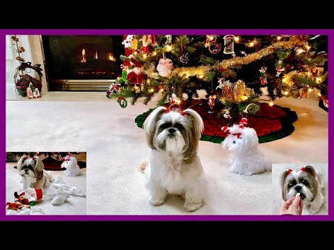 Lacey enjoys bananas 🍌 and paper 😆 | Christmas decorations 🎄🎅 | Shih Tzu dog does tricks 🐾