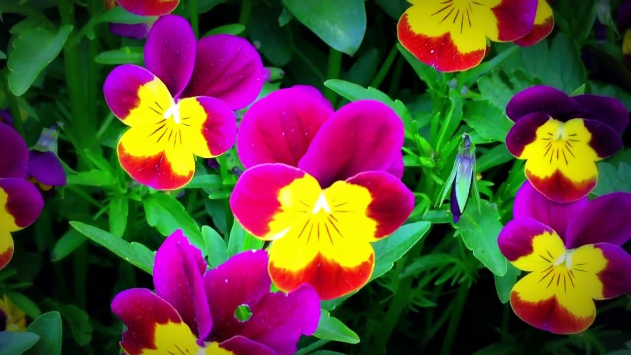 British spring blossoms violas red gold flowers blooming in british spring blossoms violas red gold flowers blooming in garden violas gardening spring dhlflorist Choice Image
