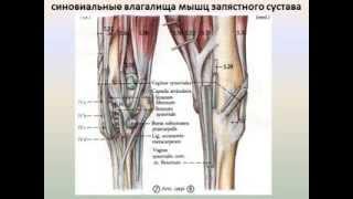 характеристика мышц 2 часть