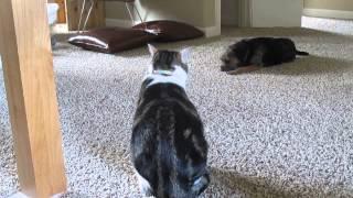 Border Terrier Meets Cat 2 Upstairs