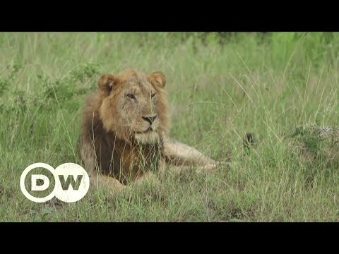 When lions and people clash | DW English