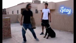 تدريب كلب روت طاعة و شراسة و حراسة صاحبه  , ت : 01123290613