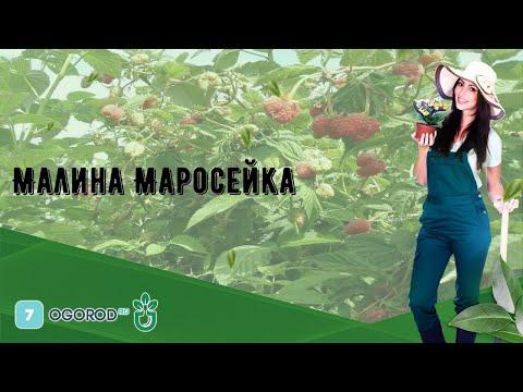 Малина Маросейка