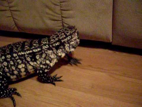 Tegu Turmoil: New Florida Law Allows Giant Reptiles To Be ...   Giant Tegu Lizard