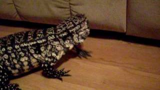 Black & White Argentine Cream Giant Tegu Lizard..BIG Tame Female Exploring Our House!!