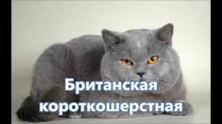 Популярные породы кошек: плюсы и минусы