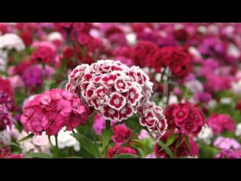 Hoa cẩm chướng chùm - Dianthus Barbatus gói 100 hạt