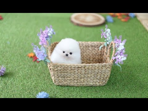 Why Should You Own A Pomeranian?