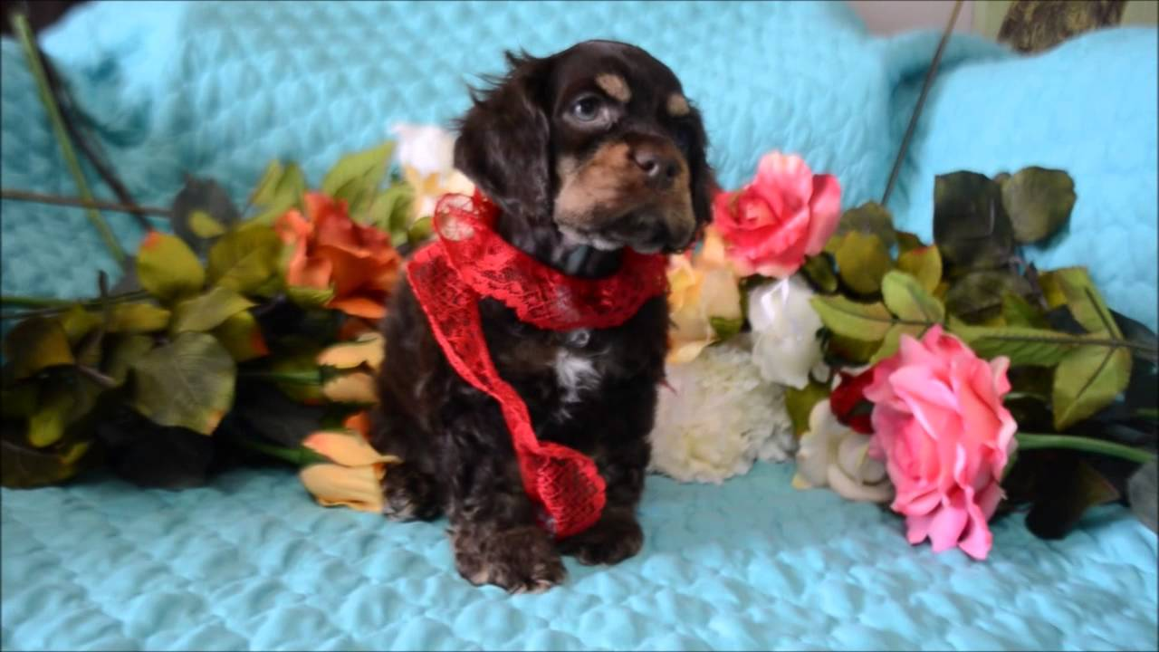 dugan cocker spaniel puppy for cocker spaniel puppies for sale www maryscockerhaven com 6181