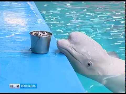 В Ярославском дельфинарии готовятся отметить День кита
