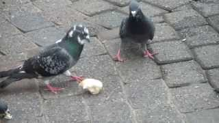 Pigeons Eating Sesame Seeds and Bread